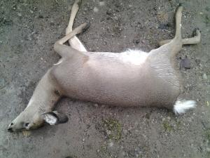 deer_17
